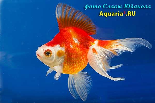 Риукин Краснобелый (Carassius Auratus)