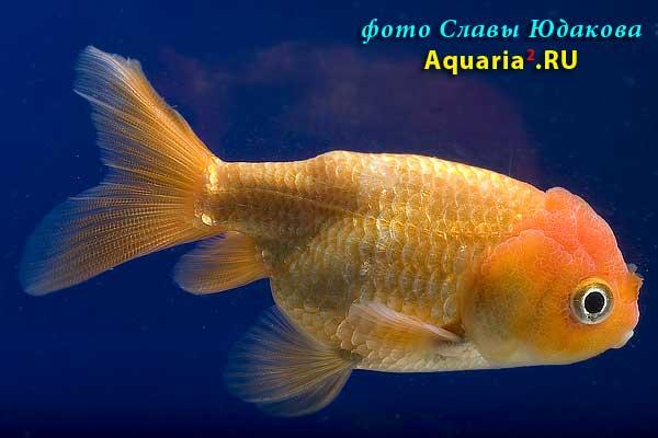 Ранчу Львиноголовый (Carassius Auratus)