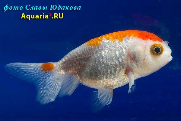 Ранчу Краснобелый (Carassius Auratus)