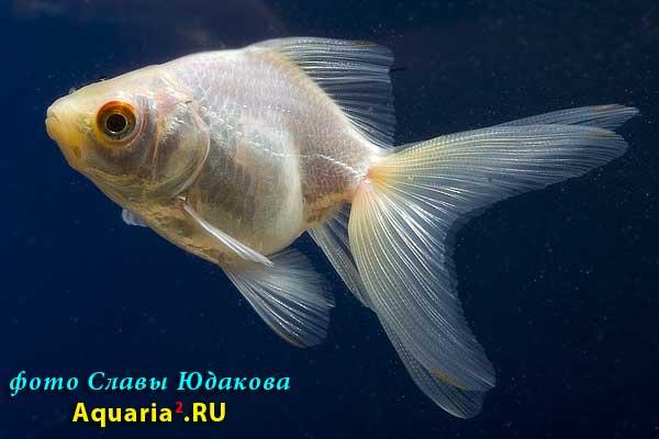 Риукин Белый (Carassius Auratus)
