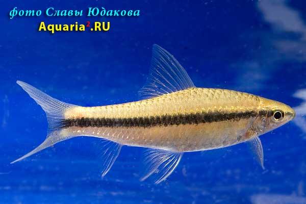 Ложный Сиамский водорослеед (Epalzeorhynchus sp. or Garra taeniata)
