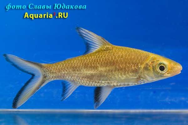 Балантиохейлус, Акулий барбус (Balantiocheilus melanopterus)