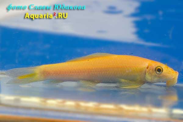 Гиринохейлус, золотистая форма (Gyrinocheilus aymonieri)