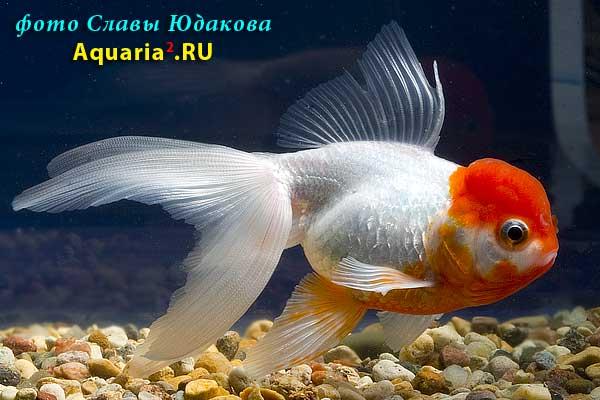 """Золотая рыбка """"красная шапочка"""" (Carassius auratus)"""