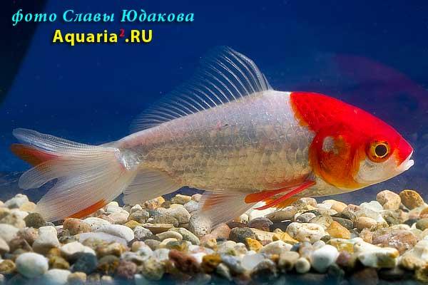 Вэйкин краснобелый (Carassius Auratus)