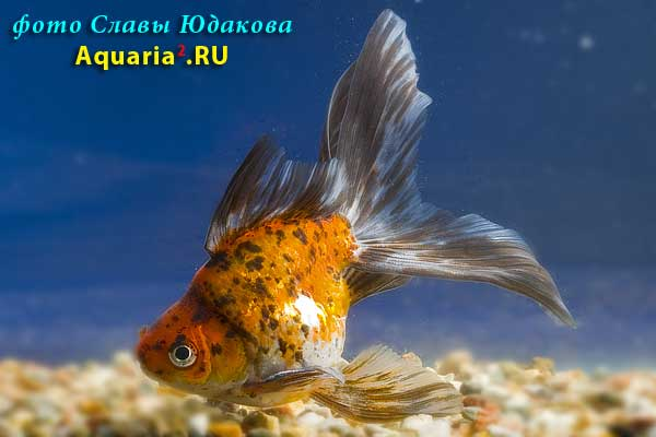 Риукин Ситцевый (Carassius Auratus)