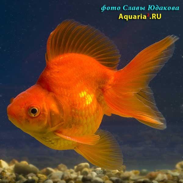 Риукин Красный (Carassius Auratus)