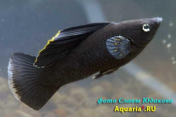 Моллинезия чёрная парусная Велифера (Poecilia velifera Black Sailfin)