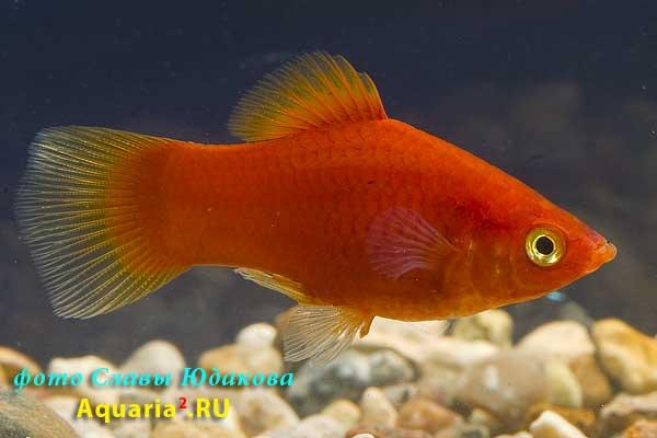 Пецилия красная (Xiphophorus maculatus), самец