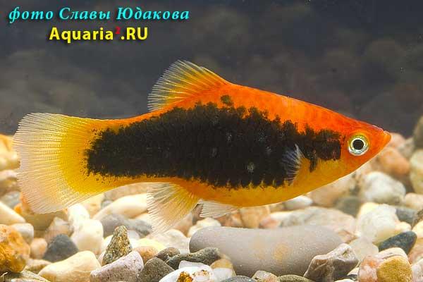 Пецилия красный смокинг (Xiphophorus maculatus Red Tuxedo)