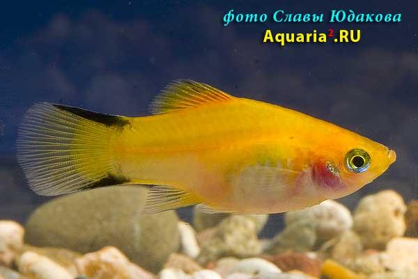 Пецилия золотая с черными полосками на хвосте (Xiphophorus maculatus Neon Gold Twin Bar )