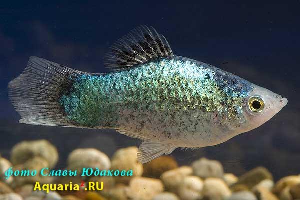 Пецилия неоновая (Xiphophorus maculatus), самец