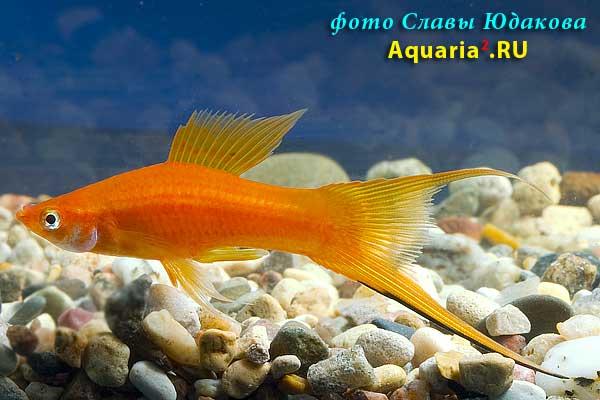 Меченосец красный, вильчатый (Xiphophorus helleri), самец