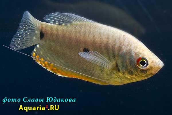 Гурами, гибрид голубой и золотистой форм (Trichogaster trichopterus)