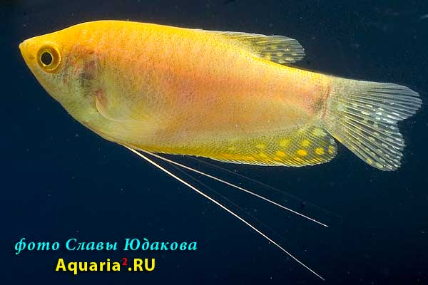 Гурами голубой, золотистая форма (Тrichogaster trichopterus), самка