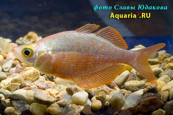 Глоссолепис (Glossolepis incisus), самец