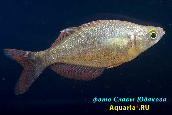 Глоссолепис (Glossolepis incisus), самка
