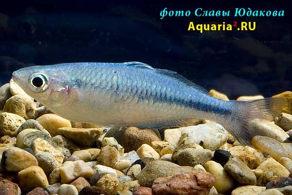 Радужница Бирюзовая (Melanotaenia lacustris Lake Kutubu)