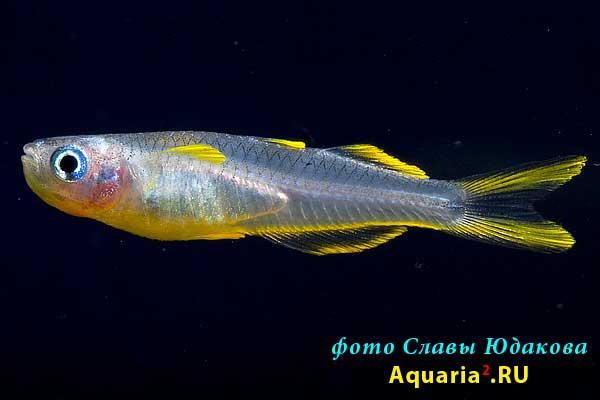 Вильчатохвостая синеглазка (Pseudomugil furcatus / Popondetta furcata)