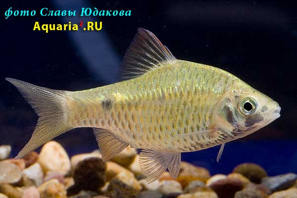 Барбус Огненный (Puntius Conchonius Rosy Barb)