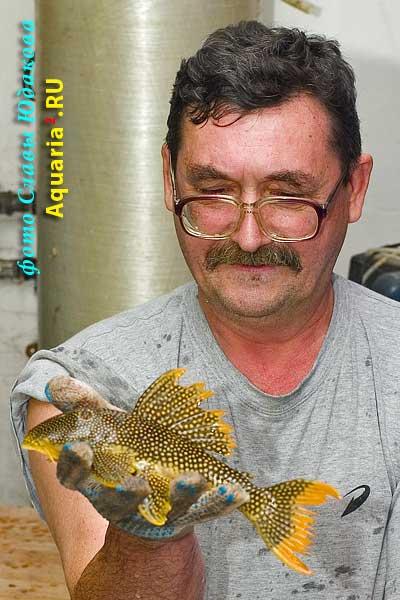 Scobian.aureatus Goldy L14