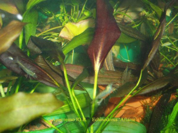 Echinodorus Aflame