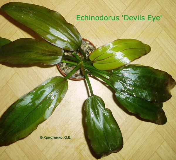 Echinodorus Devils Eye