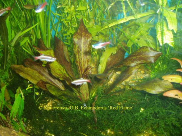 Echinodorus Red Flame
