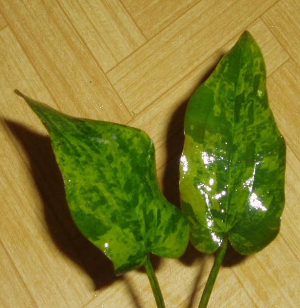 Echinodorus Tatiana