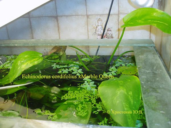 Echinodorus cordifolius Marble Queen