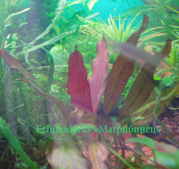 """Echinodorus """"Магрибинец"""""""