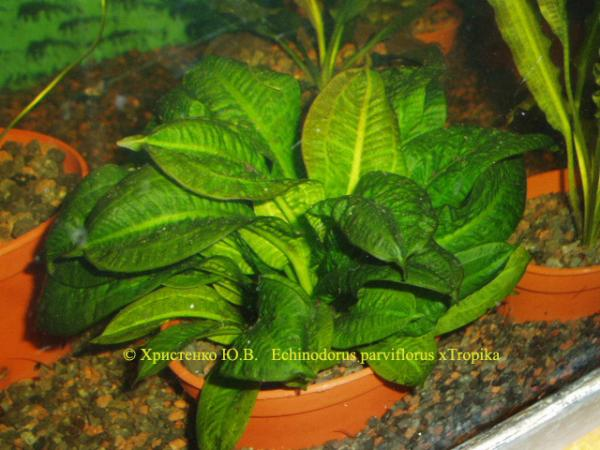 Echinodorus parviflorus xTropika