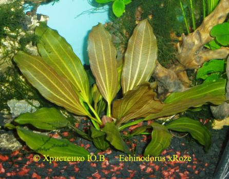 Echinodorus xRoze
