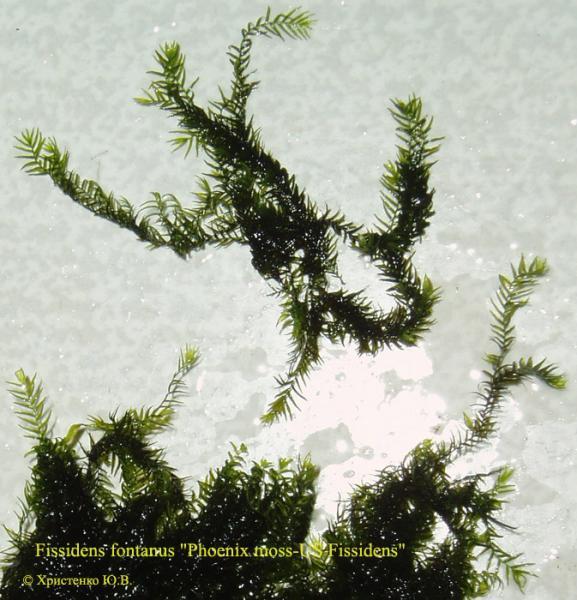 Fissidens fontanus