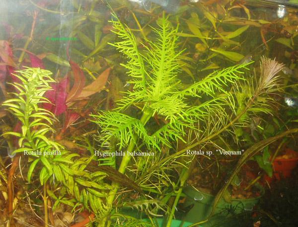 Hygrophila balsamica Rotala pusilla i Rotala sp