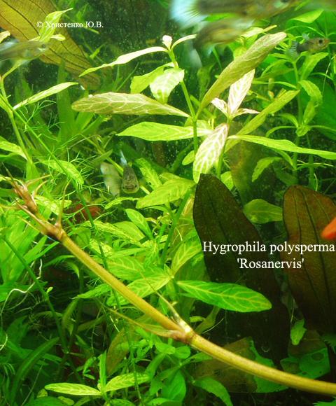 Hygrophila polysperma Rosanervis