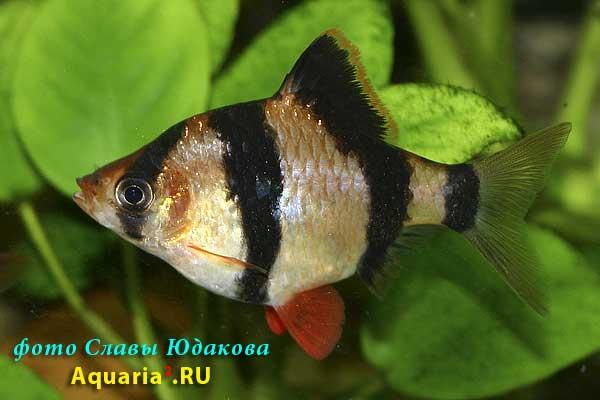 Puntius tetrazona, суматранский барбус, самка