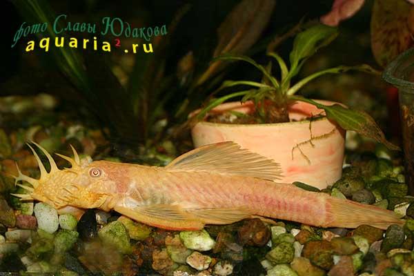 Ancistrus sp. Albino Gold, золотой анциструс, самец