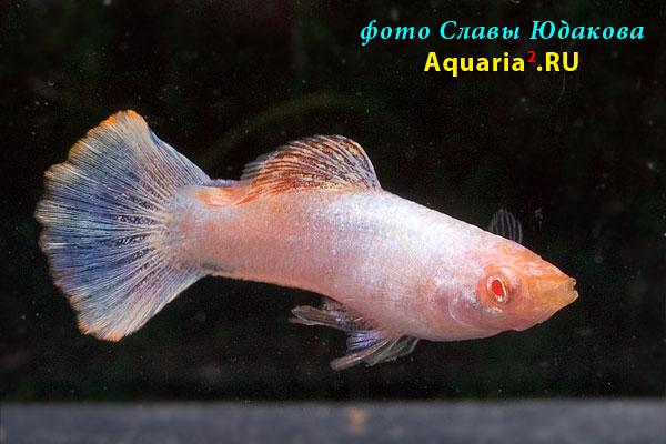 Poecilia reticulata, гуппи магента, альбинос, самец
