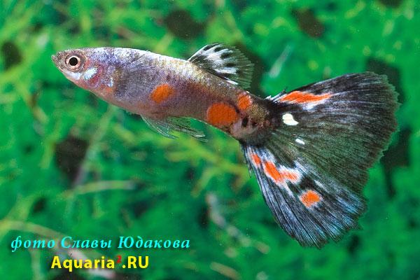 Poecilia reticulata, гуппи, самец