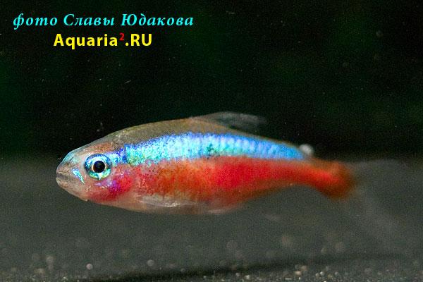 Paracheirodon axelrodi, красный неон