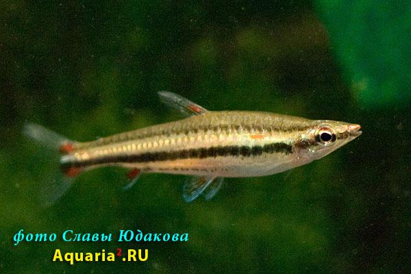 Nannostomus trifasciatus, нанностомус трехполосый