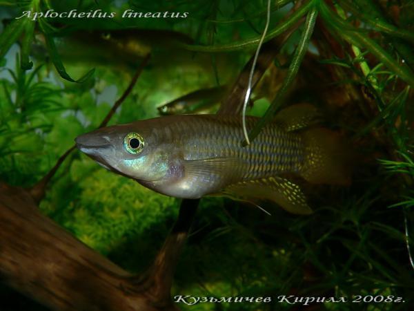 Aplocheilus lineatus, самец