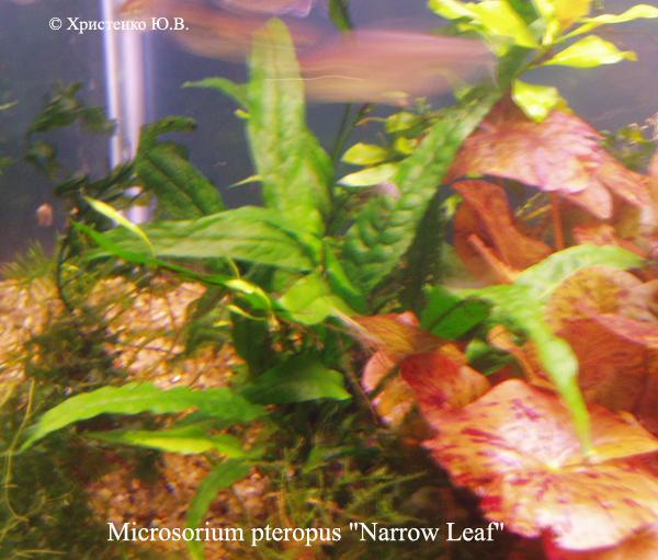 Microsorium pteropus kh Narrow Leaf