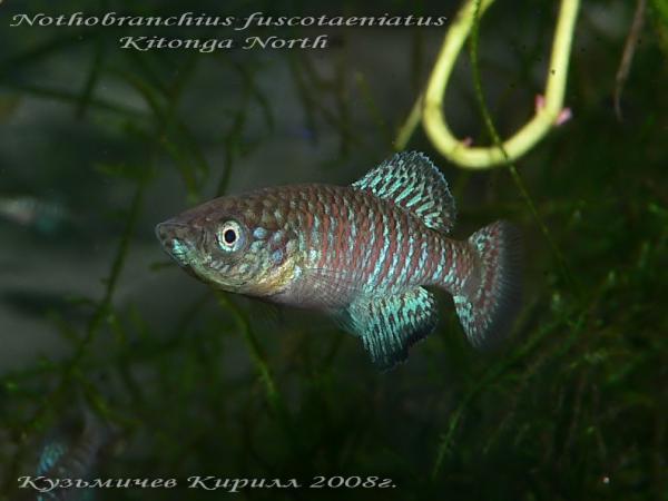 Nothobranchius fuscotaeniatus