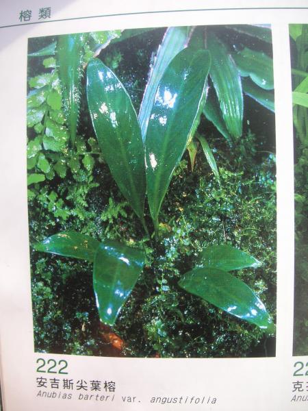 Anubias barteri var. angustifolia, тайваньский каталог