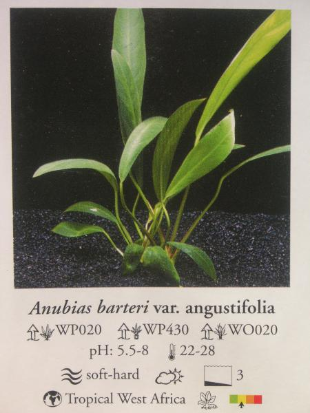 Anubias barteri var. angustifolia, каталог Ориентал