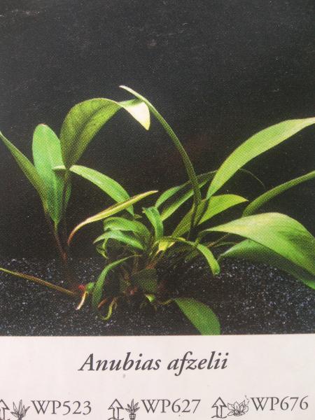Anubias afzeli, каталог Ориентал