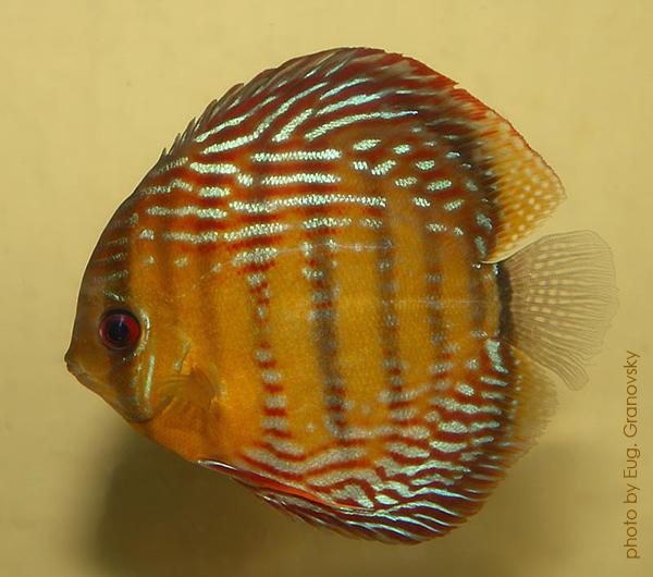 """Дискус равнополосый """"голубой"""" (Symphysodon aequifasciatus), вариетет """"Semi Royal"""""""