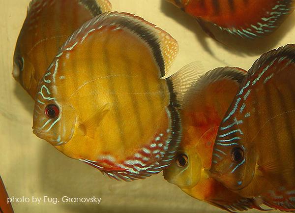 """Группа дикарей. На переднем плане – дискус равнополосый """"коричневый"""" (Symphysodon aequifasciatus)"""